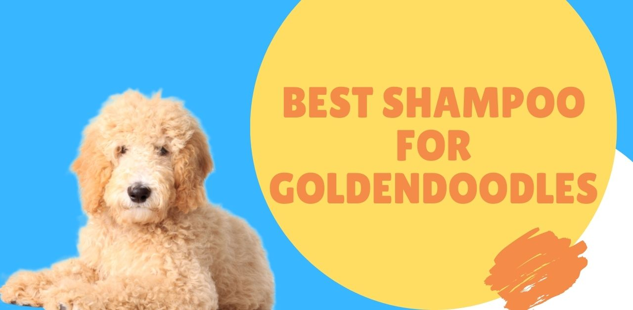 Best Shampoo For Goldendoodles